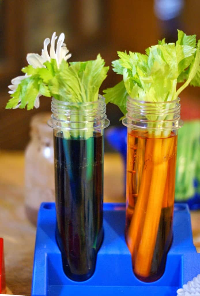 """Have you ever wondered how a plant absorbs water? Has your child ever asked you, """"how does a plant drink?"""" This post has 3 great experiments as well as a free printable pack to use with your experiments."""